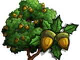 Kermes Oak Tree