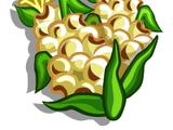 Popcorn (crop)