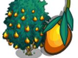 Manila Mango Tree