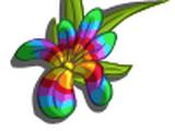 Iris Rainbow