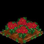 Poinsettia100