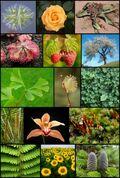 Plantae