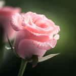 Rosepetal07's avatar