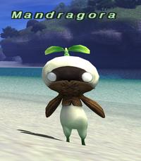 Rearing-mandragora.png