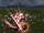 Cherry Blossom (ability)
