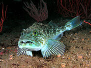 Lingcod jim-lyle