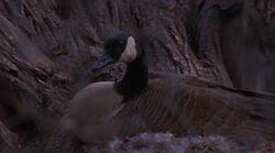 Canada Goose Nesting Fly Away Home.jpg