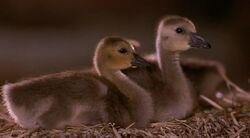 Goslings Barn Fly Away Home.jpg