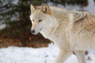 Arctic-wolf.jpg