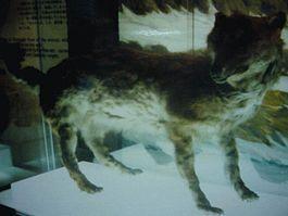 265px-エゾオオカミ剥製・開拓記念館19840914.jpg