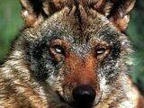 Волк испанский