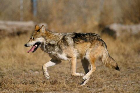 Canis lupus baileyi running-e1413393009460 (1).jpg