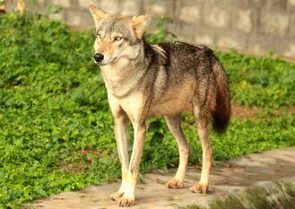 Canis lupus pallipes Mysore Zoo 1-e1413392968483.jpg