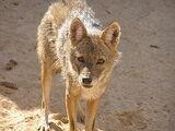 Египетский волк