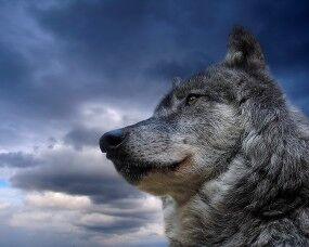 TS Русский-волк-на-фоне-неба.jpg