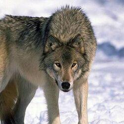 Среднерусский лесной волк