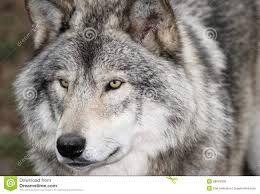 Русский волк.jpg