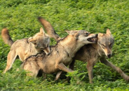 Canis lupus pallipes Mysore Zoo 2-e1413392957475.jpg
