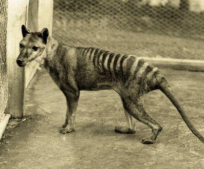 Tigre-de-Tasmanie (1).jpg
