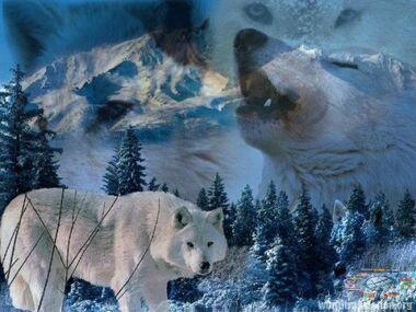 Polar arctic wolf.jpg