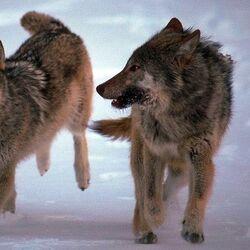 Сибирский лесной волк