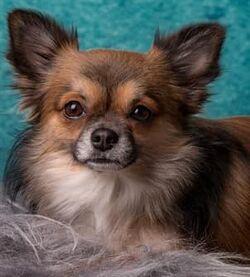 Longcoat-chihuahua-dog-001 (302 x 335)-min-302x335.jpg