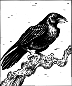 Greater raven