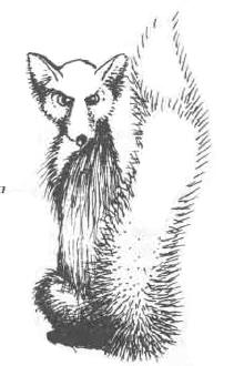 Hoar fox