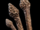 Bonecap