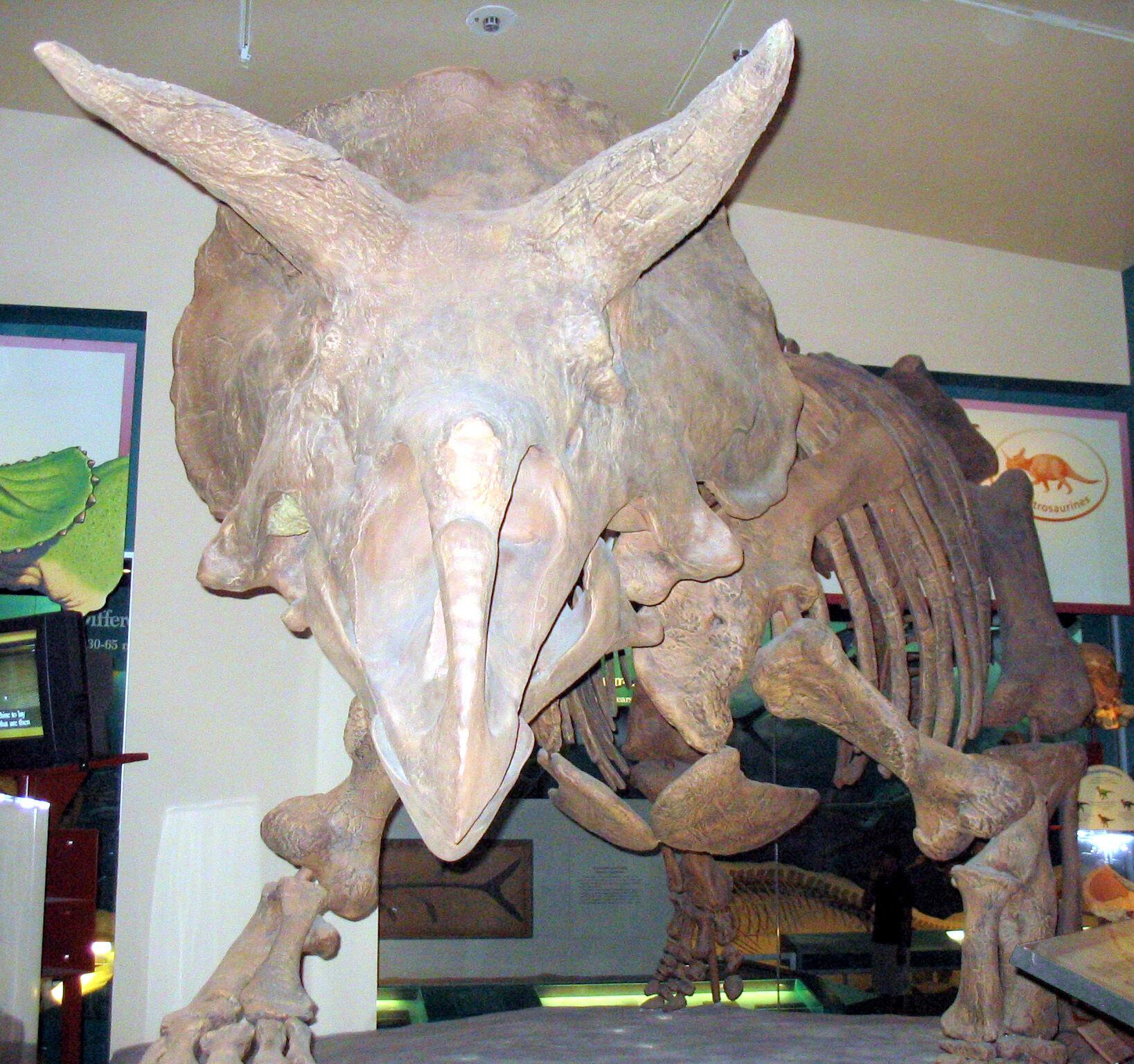 Triceratops 1.jpg