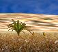 Herbe du désert
