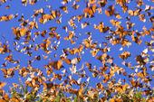 Мигрирующие Бабочки