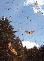 Миграция бабочек 5