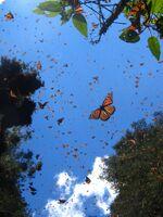 Миграция бабочек 3