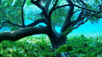 Mangrove tree.jpg