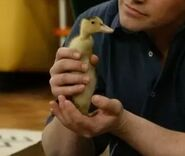 Duck Jr