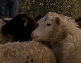 Овцы.png