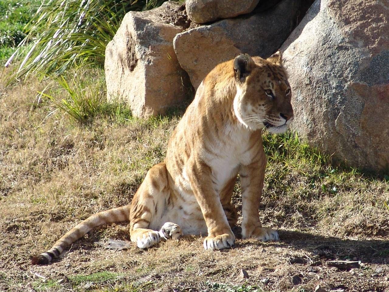 Tigon (Hybrid Age)
