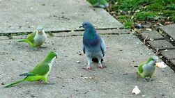 Попугаи и голубь.jpg