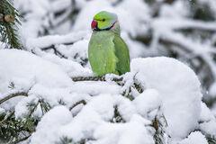 Попугай Крамера в СПб.jpg