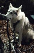 Lady (lobo gigante)