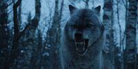 702 Wolf