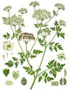Conium maculatum - Köhler–s Medizinal-Pflanzen-191