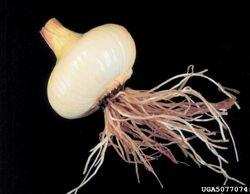 Onion Pink Root of Onion Phoma terrestris.jpg