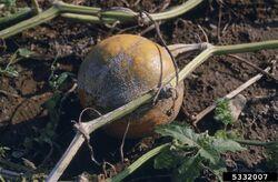 Pumpkin Plectosporium Blight.jpg