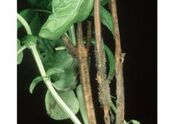 Basil Grey mould Botrytis cinerea