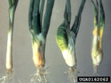 Stem and bulb nematode