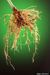 Sweet pepper Root-knot nematode Meloidogyne incognita