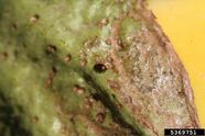 Aubergine Flea Beetle Calyx