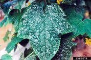 Cucumber Powdery mildew Sphaerotheca fuliginea